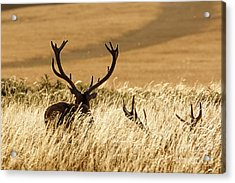 Red Deer Stags At Sunset Acrylic Print