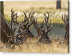 Red Deer Stags In Velvet Acrylic Print
