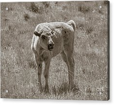 Acrylic Print featuring the photograph Red Dog Buffalo Calf by Rebecca Margraf