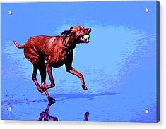 Red Dog Running Acrylic Print