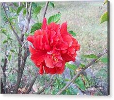Red Double Hibiscus Acrylic Print