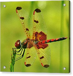 Red Dragonfly Acrylic Print by Thomas  McGuire