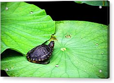 Red-eared Slider Acrylic Print