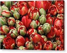 Acrylic Print featuring the photograph Red Elegant Blooming Tulips  by Michalakis Ppalis