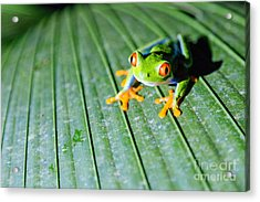 Red Eyed Frog Close Up Acrylic Print