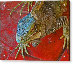 Red Eyed Iguana Photo Acrylic Print by Kelly     ZumBerge