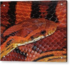 Red Eyed Snake Acrylic Print by Patricia McNaught Foster