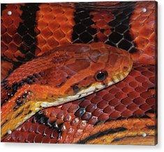 Red Eyed Snake Acrylic Print
