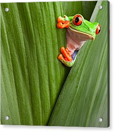 Red Eyed Tree Frog  Acrylic Print by Dirk Ercken