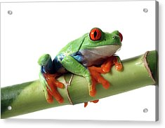 Red-eyed Tree Frog Acrylic Print by Mlorenzphotography