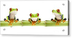 Red-eyed Treefrogs Acrylic Print by Mark Bowler and Photo Researchers
