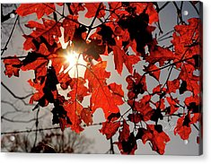 Red Fall Leaves Acrylic Print