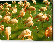 Red Florida Flamingos In Green Water Acrylic Print