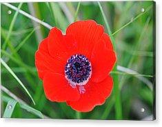 Red Anemone Coronaria 3 Acrylic Print