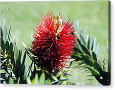 Callistemon - Bottle Brush 7 Acrylic Print