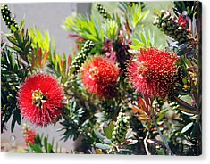 Callistemon - Bottle Brush 6 Acrylic Print