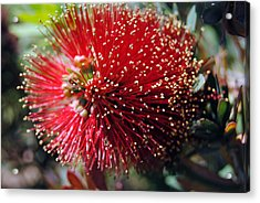 Callistemon - Bottle Brush 5 Acrylic Print
