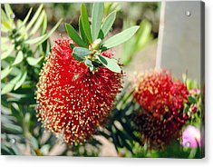 Callistemon - Bottle Brush 4 Acrylic Print