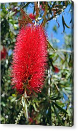 Callistemon - Bottle Brush 2 Acrylic Print