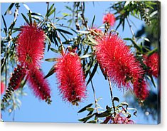 Callistemon - Bottle Brush 3 Acrylic Print