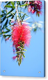 Callistemon - Bottle Brush 1 Acrylic Print