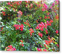 Acrylic Print featuring the photograph Red Flower Hedge by Francesca Mackenney