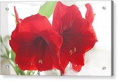 Amaryllis Acrylic Print by Rebecca Harman