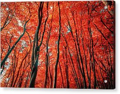Red Forest Of Sunlight Acrylic Print