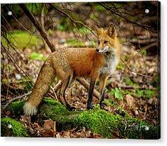 Red Fox #2 Acrylic Print