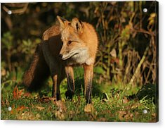 Acrylic Print featuring the photograph Red Fox by Doris Potter