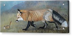 Red Fox Encounter Acrylic Print by Charlotte Yealey