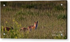 Red Fox Family Acrylic Print