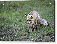 Red Fox Hunting Acrylic Print