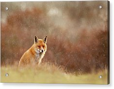 Red Fox In A Snow Shower Acrylic Print