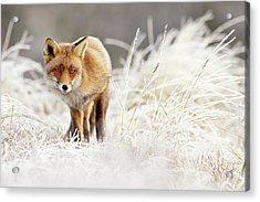 Red Fox In A Winter Landscape Acrylic Print by Roeselien Raimond