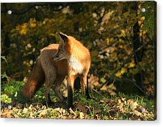 Acrylic Print featuring the photograph Red Fox In Shadows by Doris Potter