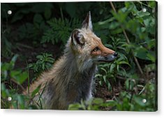 Red Fox In The Forest Acrylic Print