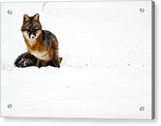 Red Fox In The Snow Acrylic Print