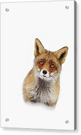 Red Fox In The Snow Portrait Acrylic Print