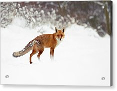 Red Fox In Winter Wonderland Acrylic Print