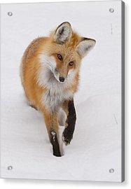Red Fox Portrait Acrylic Print