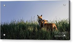 Red Fox Morning Acrylic Print