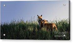 Red Fox Morning Acrylic Print