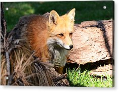 Red Fox On Patrol Acrylic Print