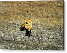 Acrylic Print featuring the photograph Red Fox On The Tundra by Anthony Jones