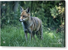 Red Fox Acrylic Print by Philip Pound
