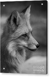 Red Fox Portrait In Black And White Acrylic Print