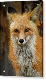 Red Fox Portrait Acrylic Print by John De Bord