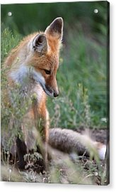 Red Fox Pup Outside Its Den Acrylic Print by Mark Duffy