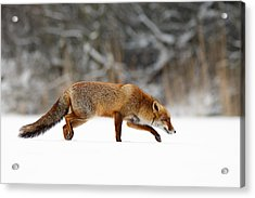 Red Fox Running Through A White World Acrylic Print by Roeselien Raimond